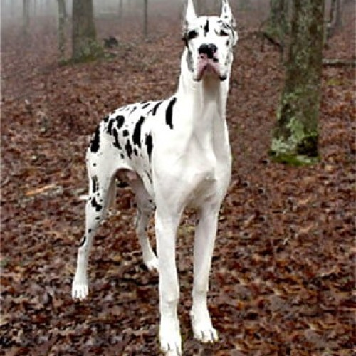 GreatDane82 avatar